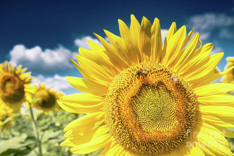 Sunflower Dreams by Jim DeLillo