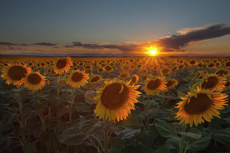 Horizontal Photograph - Sunflower Field - Colorado by Lightvision, LLC