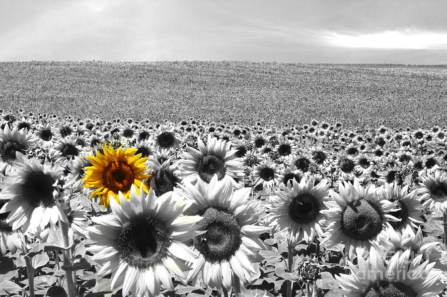 Agriculture photograph sunflower field black and white by manuel fernandes