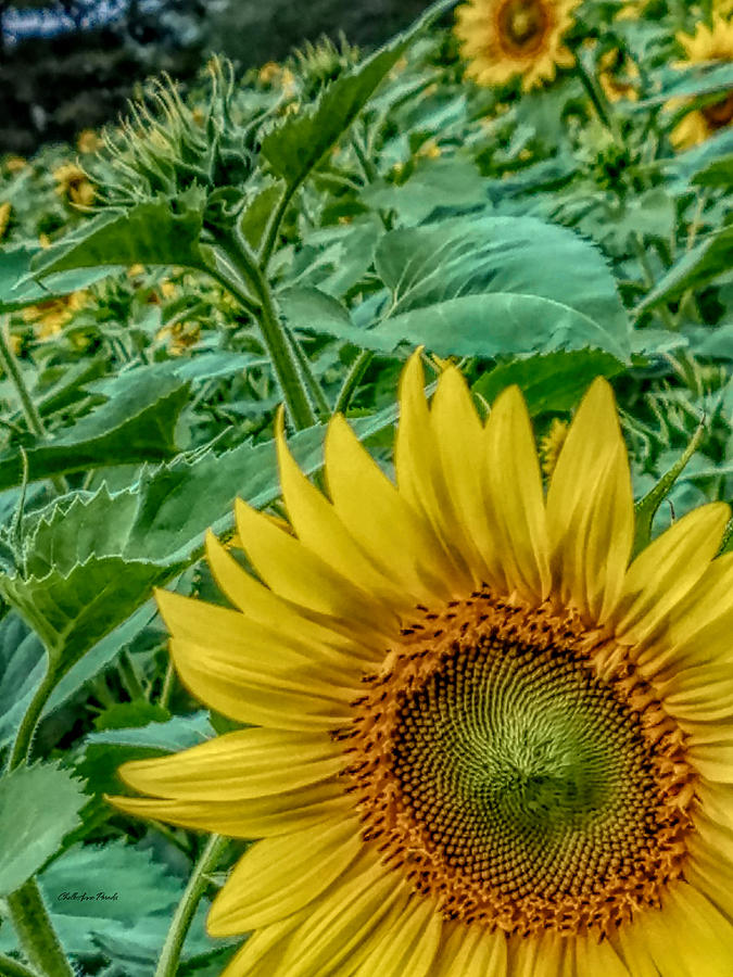 Sunflower Photograph - Sunflower Field by ChelleAnne Paradis