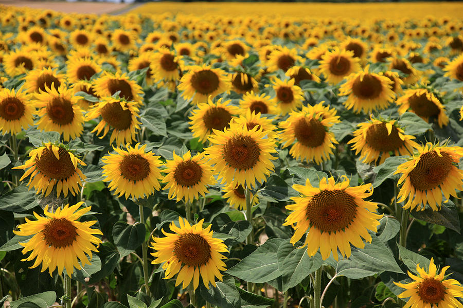 Sunflowers Photograph - Sunflower Field France by Pauline Cutler
