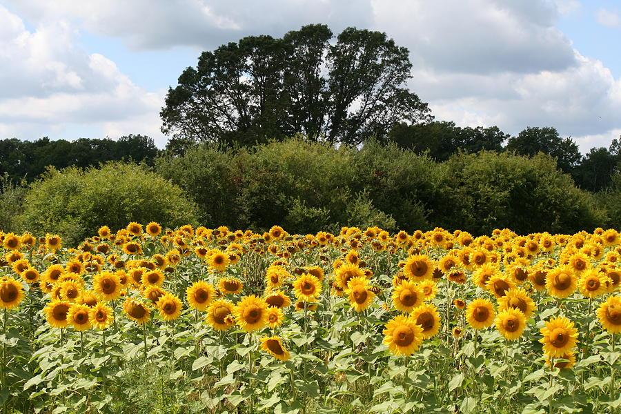 Sunflower Field by Patricia Ricci