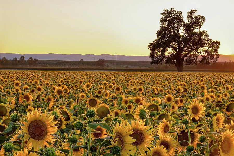 Sunflower Field with Old Oak by Robin Mayoff