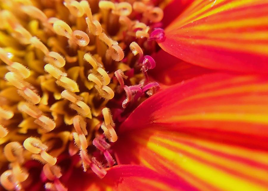 Sunflower Photograph - Sunflower Fire 4 by Nathan Little