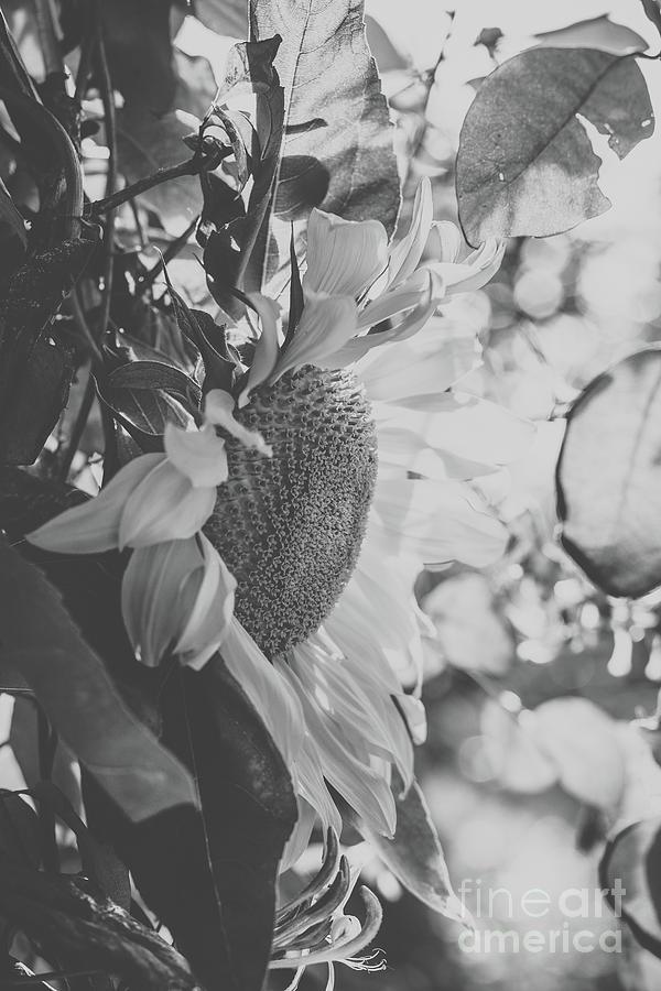 Sunflower Fresh Photograph