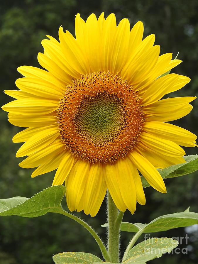 Sunflower Fully Open by Eunice Miller