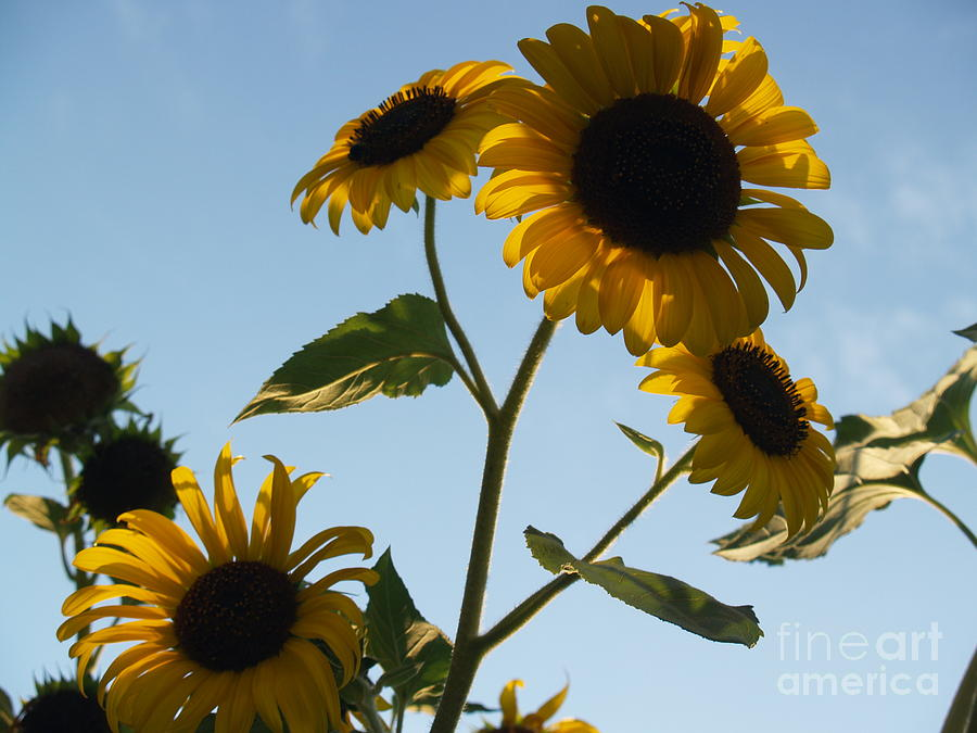 Sunflower Photograph - Sunflower Gang From Below by Anna Lisa Yoder
