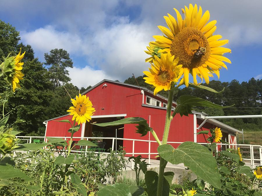 Sunflower Garden Photograph By Ingrid Bolton