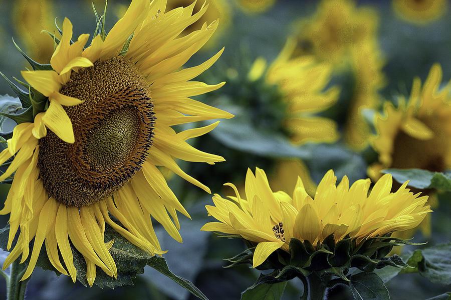 Sunflower Photograph - Sunflower Greeting by Mark Braun