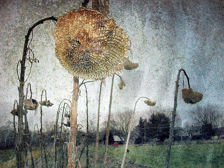 Nature Photograph - Sunflower Head by Paul Bracey