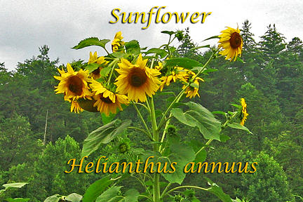 Sunflower Photograph - Sunflower Helianthus Annus by Heidi Berkovitz