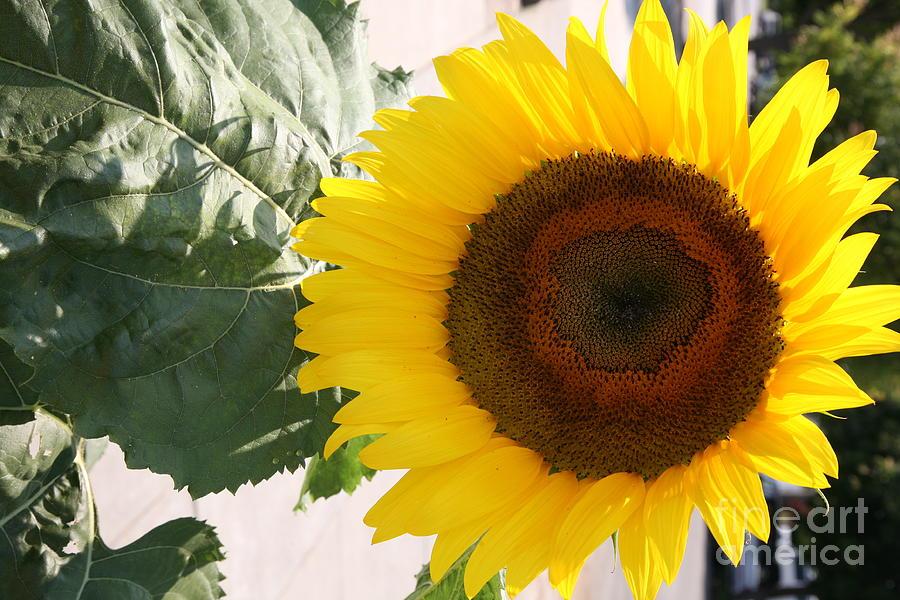 Flowers Photograph - Sunflower II by Chuck Kuhn