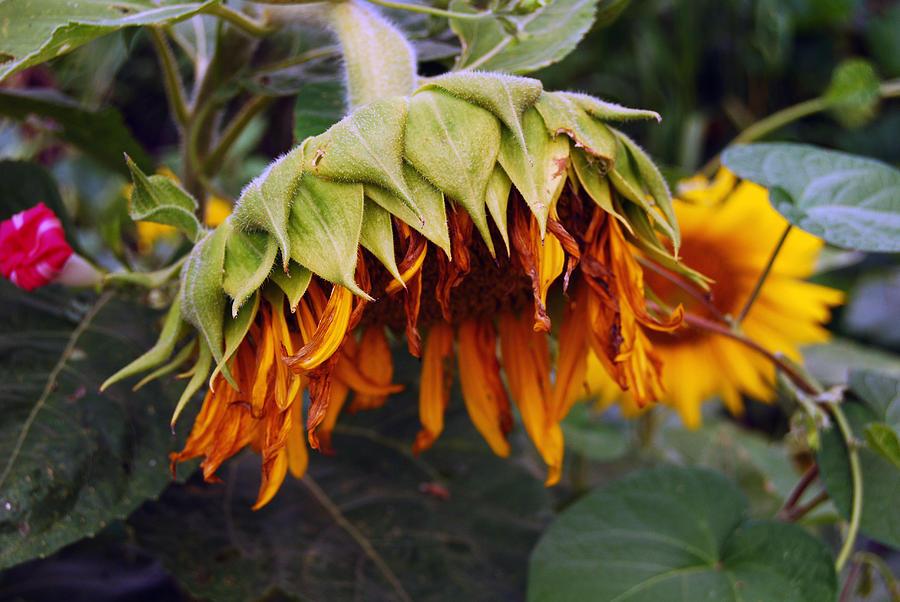 Sunflower Photograph - Sunflower II by Coralyn Klubnick Simone