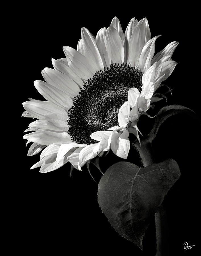 Flower photograph sunflower in black and white by endre balogh