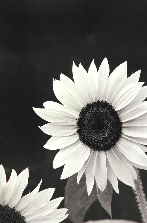 SunFlower in Black and White by John Harmon