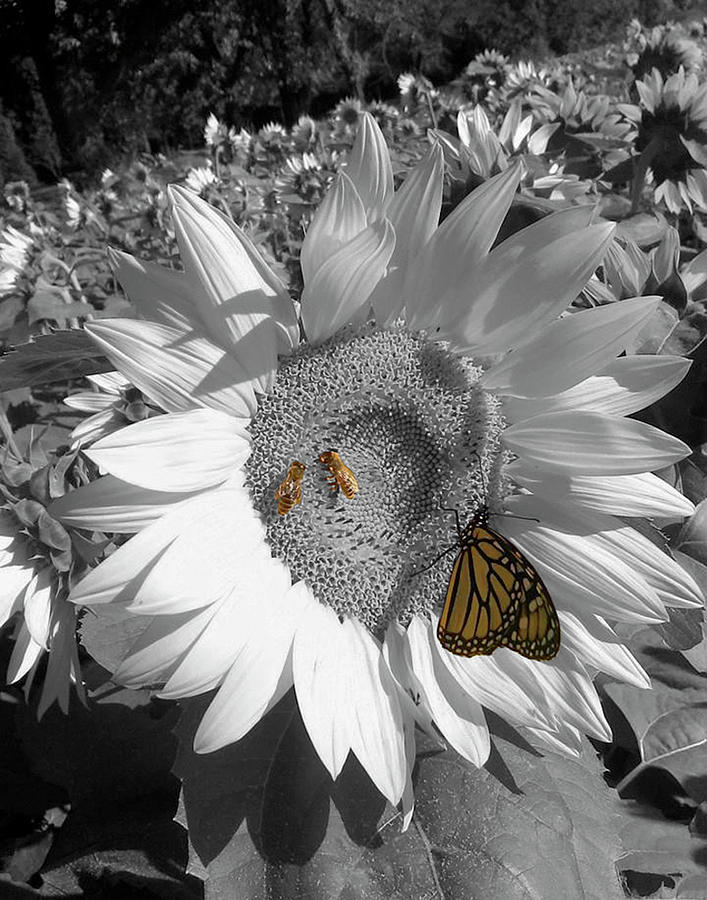 Sunflower in Black And White by Melinda Blackman