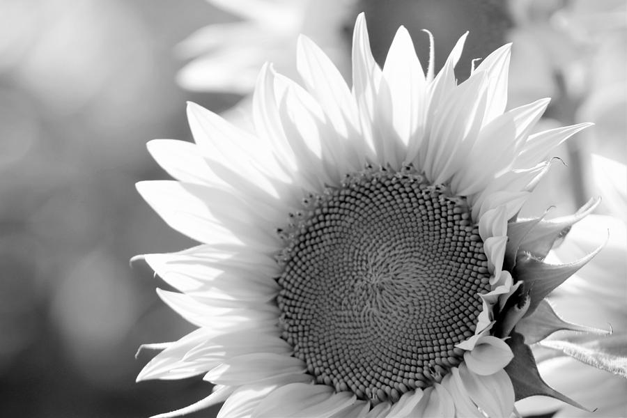 Sunflower Photograph - Sunflower In Black and White by Shelly Dixon