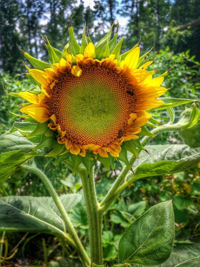 Sunflower in Mocksville by Ben Shields