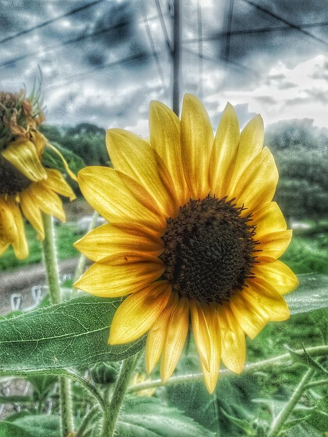 Sunflower Photograph - Sunflower In Town by Dustin Soph
