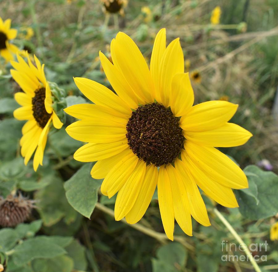 Sunflower by James Fannin