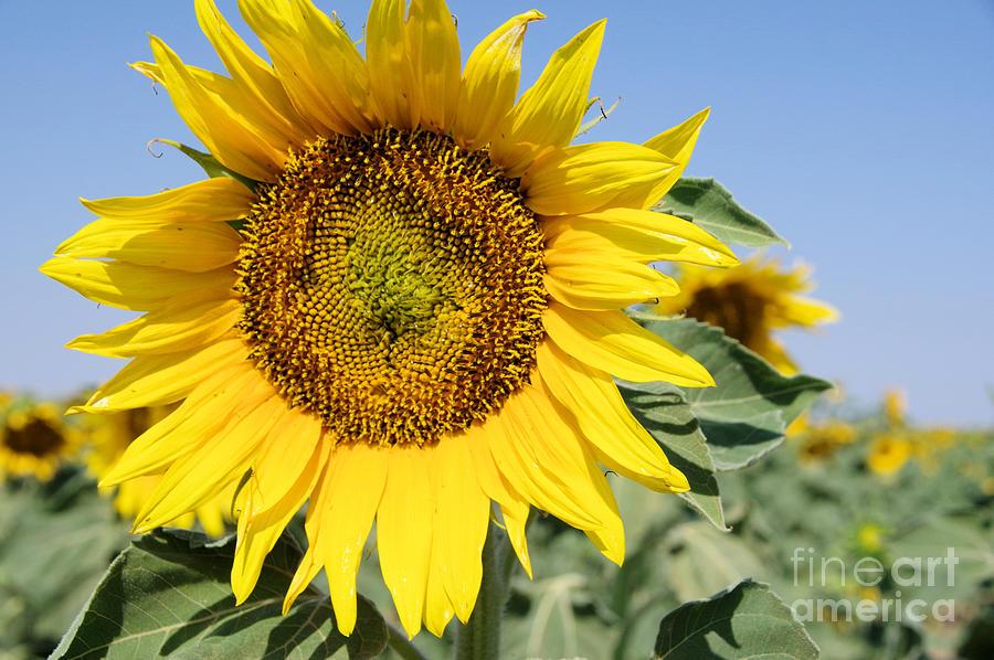 Sunflower Photograph - Sunflower by Jeff Swan