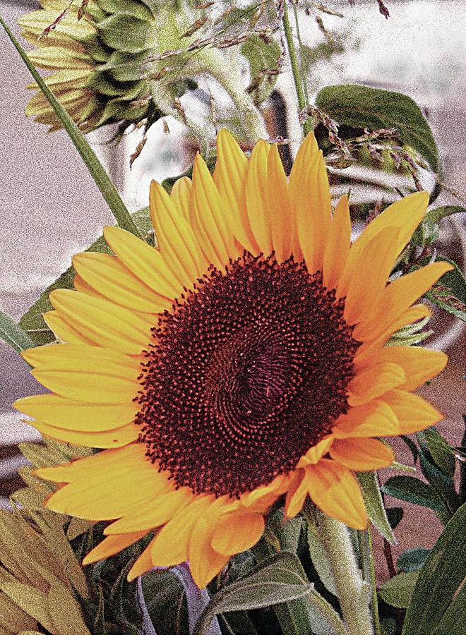 Sunflower by John Dyess