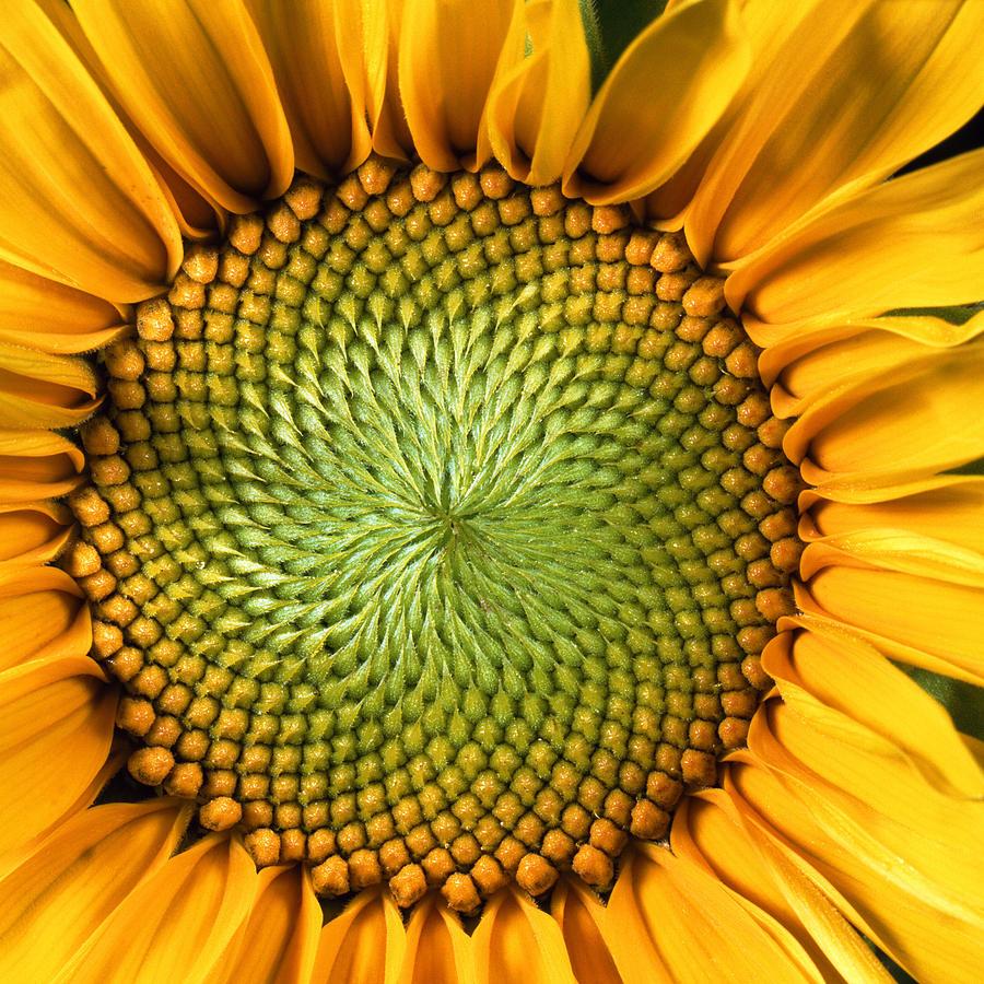 Square Photograph - Sunflower by John Foxx