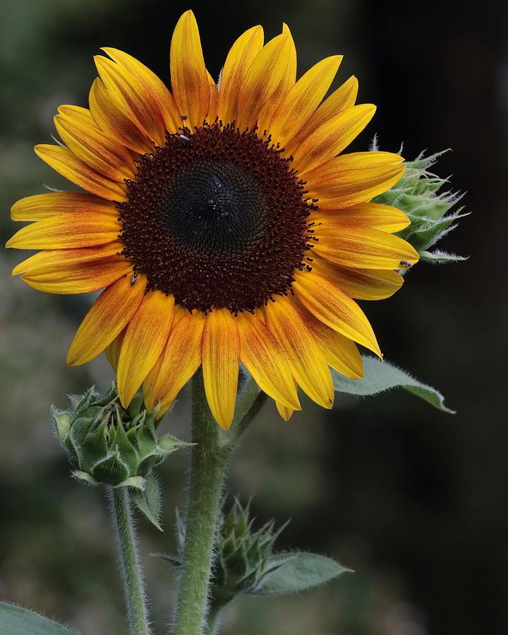 Sunflower by John Moyer