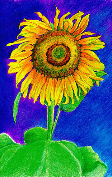 Sunflower Drawing - Sunflower by Judy Lewis