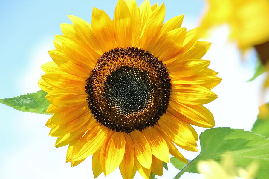 Sunflower Close Up Photograph by Karen Silvestri