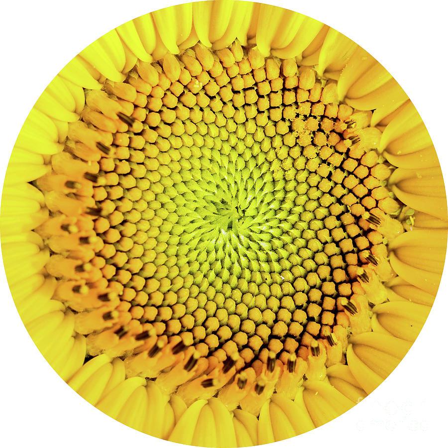 Giant Sunflower Art | Fine Art America