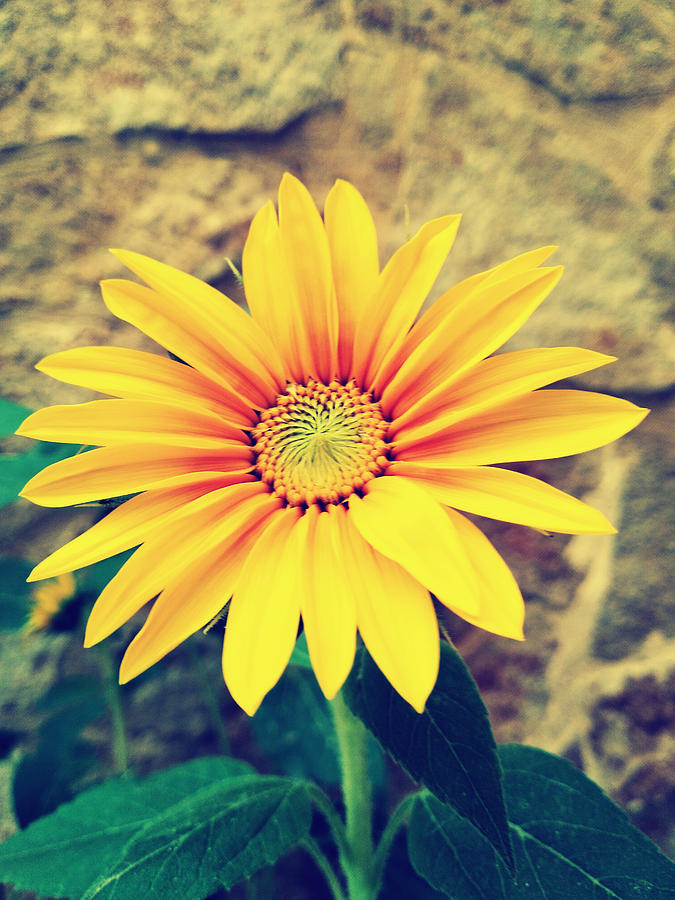 Sunflower by Lucia Sirna