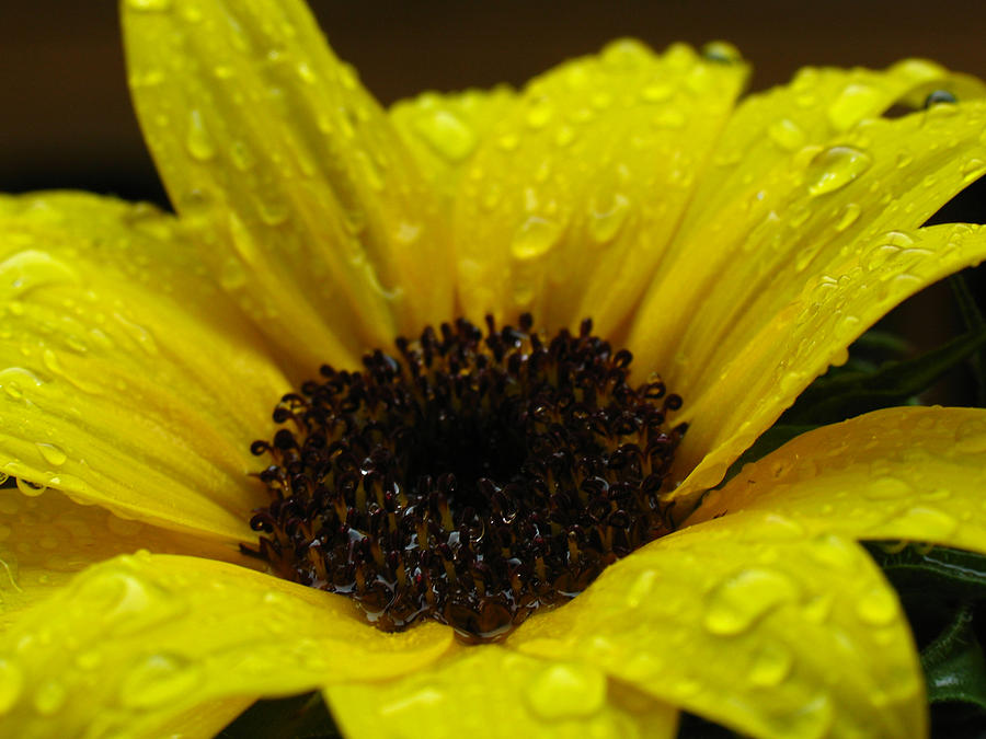 Sun Stars Photograph - Sunflower Macro by Juergen Roth
