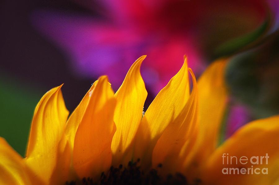 Sunflower Madness by Arthur Miller