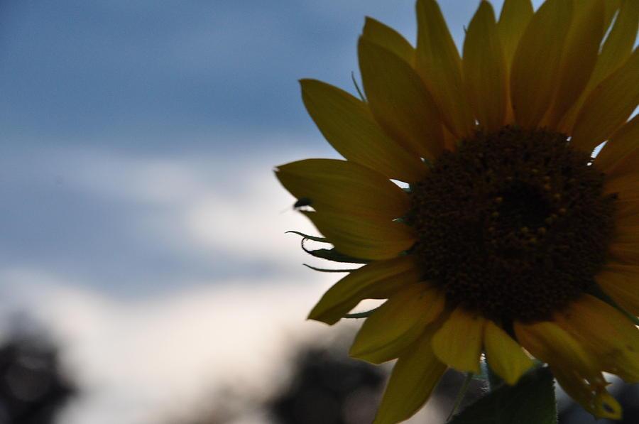 Sunflower Photograph by Mallory Jarosz
