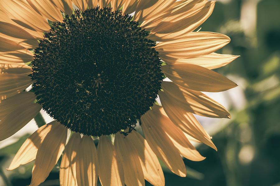 Matte Photograph - Sunflower Matte by Howard Roberts