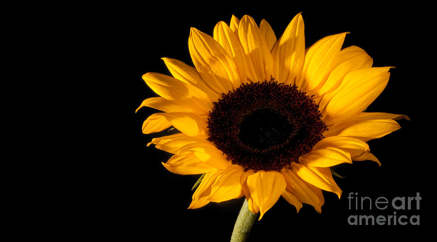 Fine Photograph - Sunflower by Michael Herb