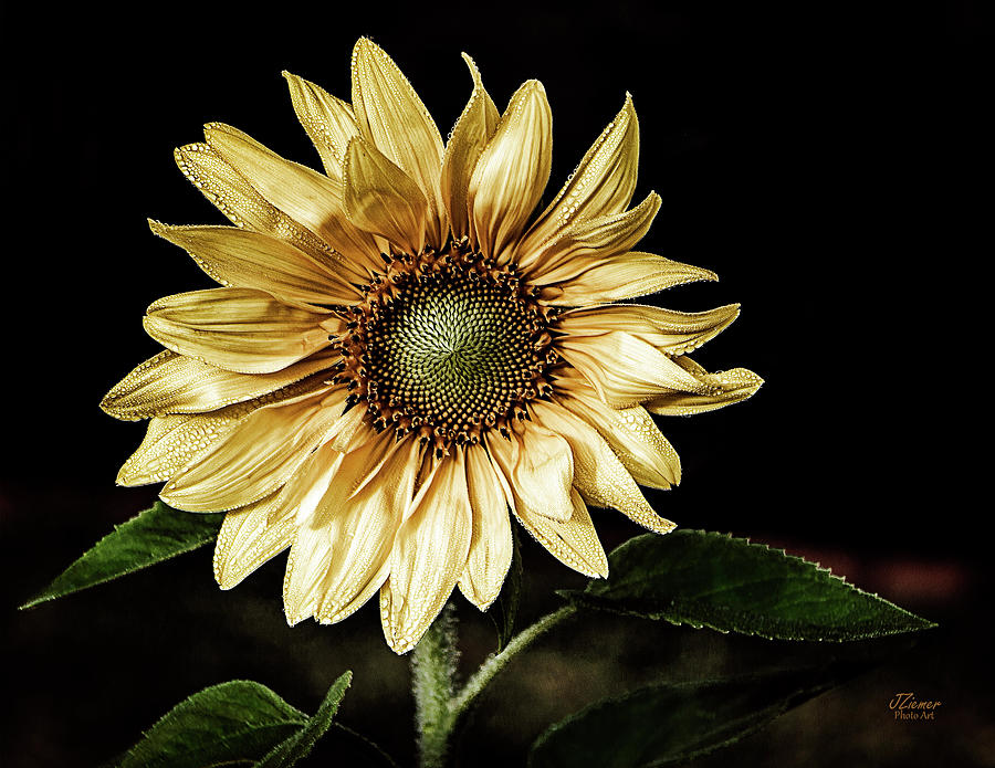 Flower Photograph - Sunflower Modified by Jim Ziemer