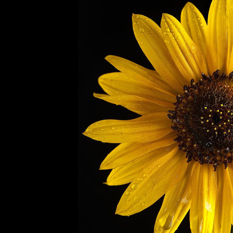 Sunflower Photograph - Sunflower Number 3 by Steve Gadomski