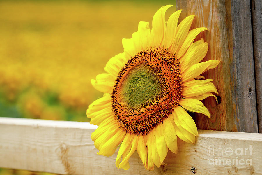 Sunflower On The Fence Photograph
