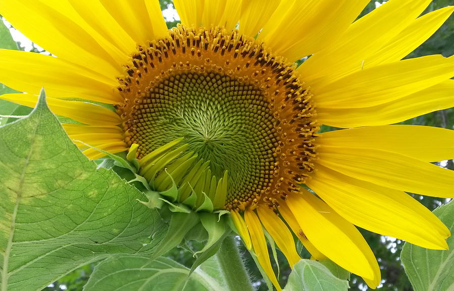 Sunflower Opening by Cindy Clements