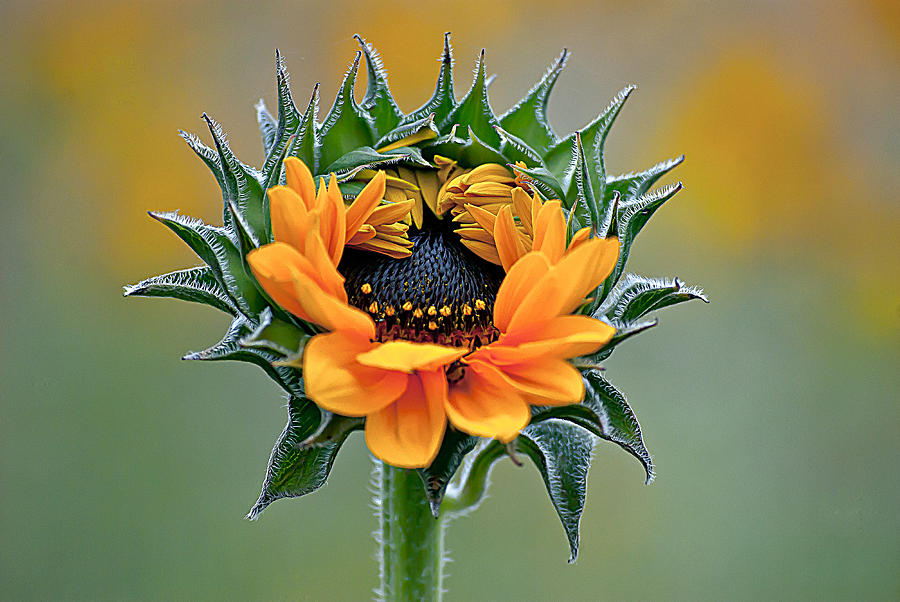 Farm Photograph - Sunflower Opens by Emerald Studio Photography