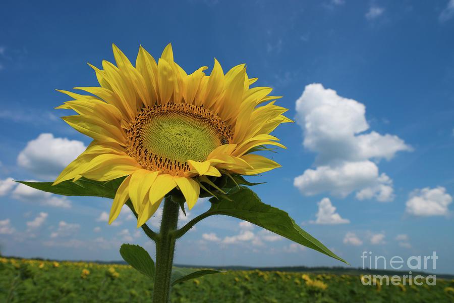 Sunflower Photograph - Sunflower by Oxana Gracheva