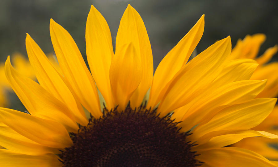 Sunflower Petals Photograph