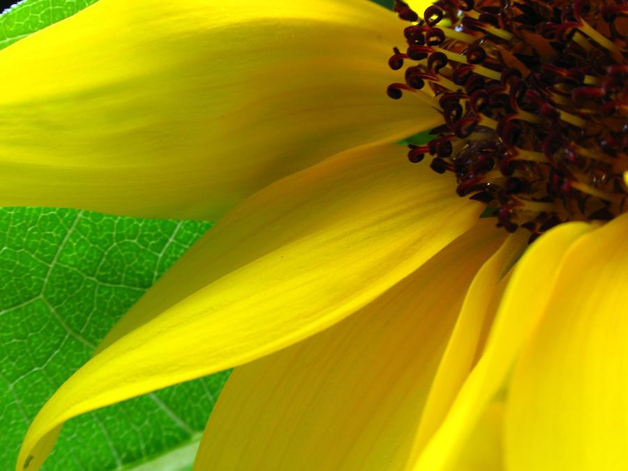 Sun Stars Photograph - Sunflower Petals by Juergen Roth
