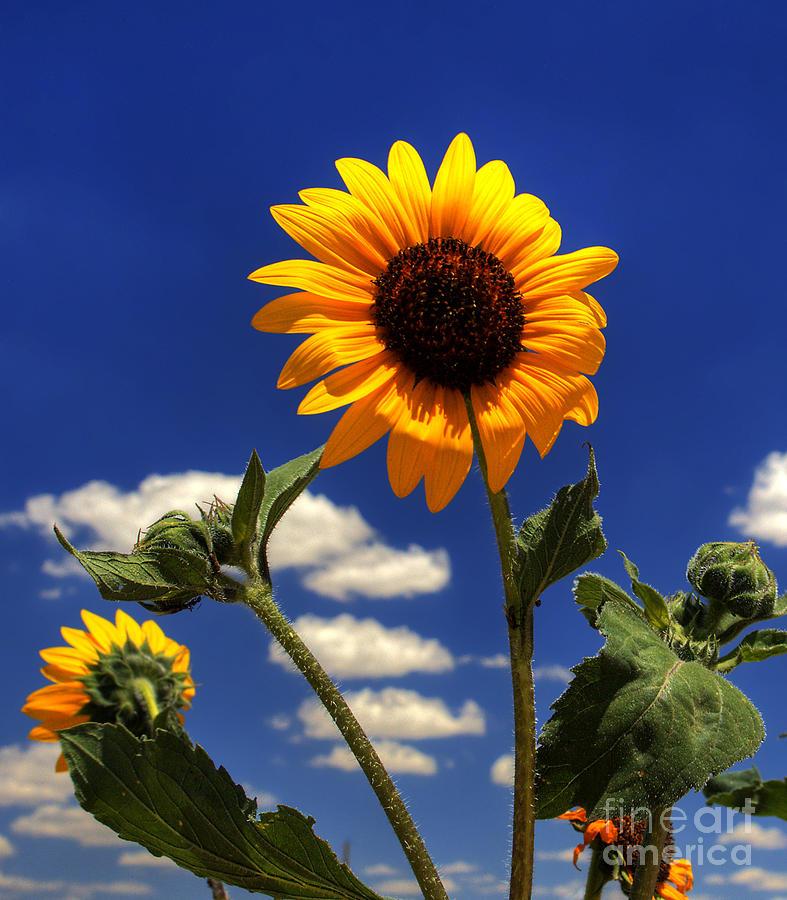 Landscape Photograph - Sunflower by Pete Hellmann