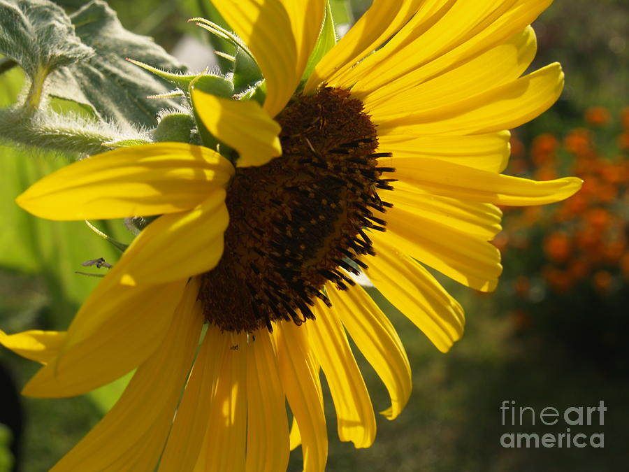Sunflower Photograph - Sunflower Profile by Anna Lisa Yoder