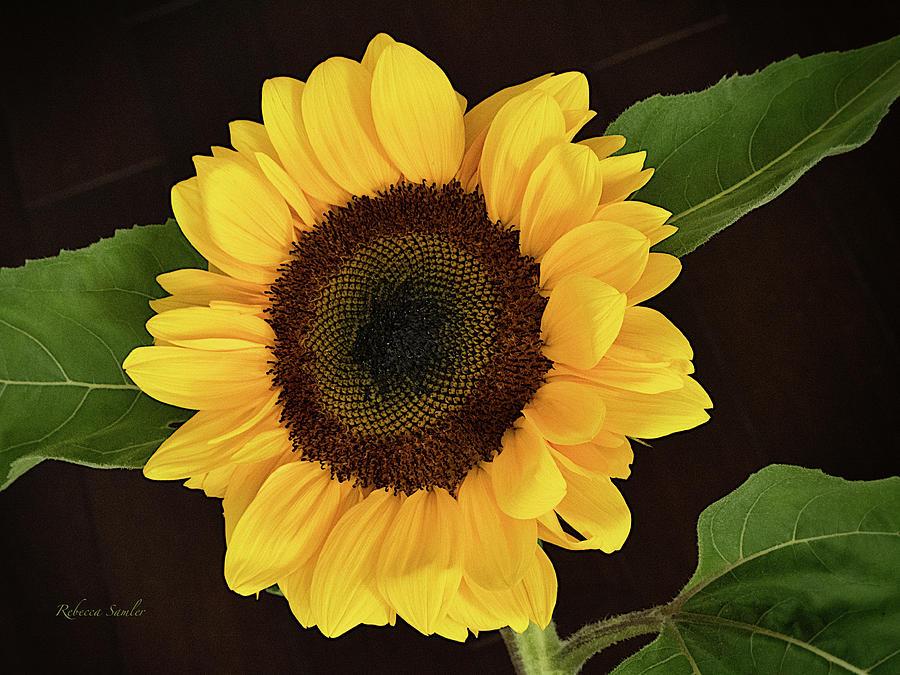 Sunflower by Rebecca Samler