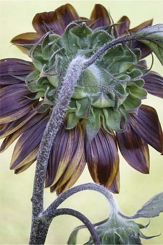 Sunflower Photograph - Sunflower Reverse by Steve Pool