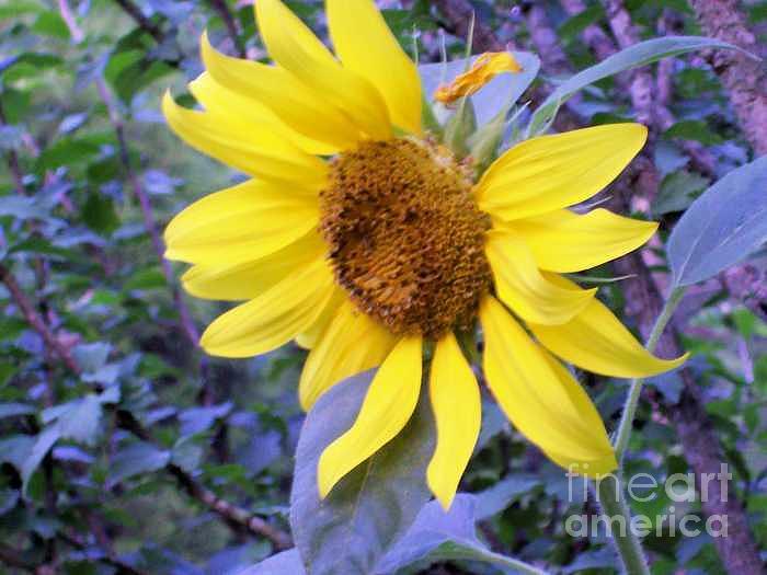 Sunflower Photograph by Robin Hester